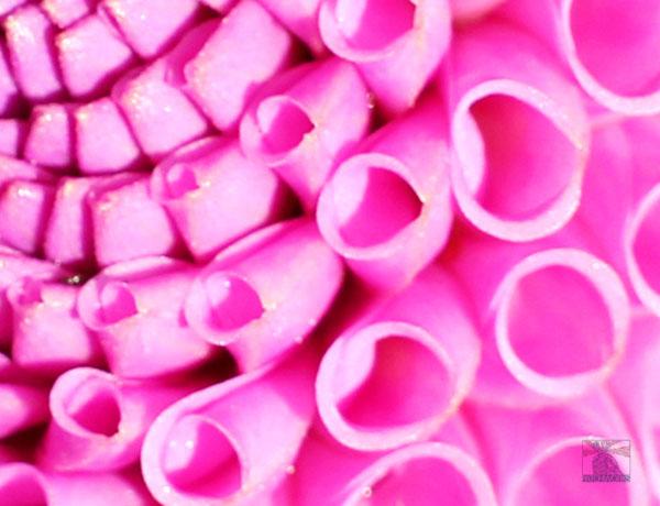 Pink tube flower